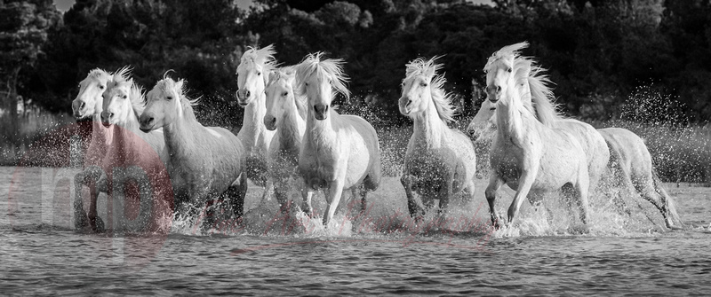 Stallions of the Camargue. International Photography Awards Winner 2016.